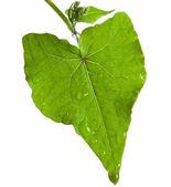 One single fresh leaf of buckwheat plant shape heart isolated on white background — Stock Photo