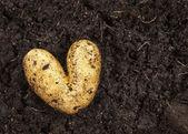 Hjärtformade potatis liggande på trädgårdsjord bakgrunden i starkt dagsljus — Stockfoto