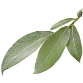 Silver weeping willow branch leaves isolated on white background — Stock Photo