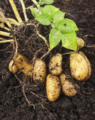 Potato plant with tubers in soil dirt surface — Stock Photo