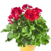 Las flores de geranio roja en caja de suelo cerrar aisladas sobre fondo blanco — Foto de Stock