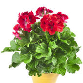 Red geranium flower in soil box close up isolated on white background — 图库照片