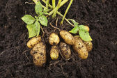 Fresh potato vegetable with tubers in soil dirt surface background — Stock Photo