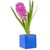 Hyacinth bloom bouquet in blue gift box isolated on white background — Stock Photo