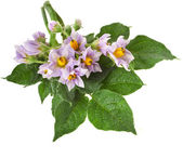 Bouquet flowering potato isolated on white — Stock Photo
