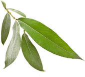 Willow silver weeping tree leaves isolated on white background — Stock Photo