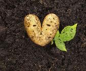 картофель, лежа на почву сада в ярком дневном свете в форме сердца — Стоковое фото