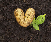 Heart shaped potato lying on the garden soil in bright daylight — Zdjęcie stockowe