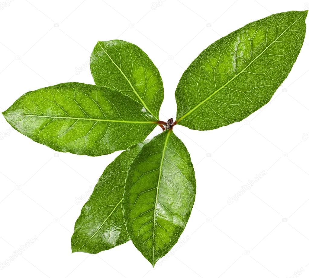 Laurel tree branch with green leaves isolated over white background    Tree Branch With Leaves