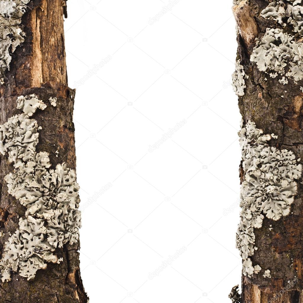 가까이 흰색 배경에 고립 된 이끼와 마른 나무 가지 테두리 ...