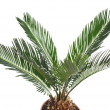 One Palm tree isolated on white background — Stock Photo