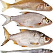 Collection set of different popular fresh river fish roach isolated on white background — Stock Photo #31699659