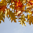 Stock Photo: Border of colored autumn maple leafs in blue sky copy space background