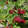 Stock Photo: Decorative rowan- hawthorn tree with blood-red berries close up