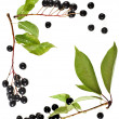 Border frame of bird cherry branch with berries top view close up isolated on a white background — Stock Photo