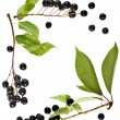 Border frame of bird cherry branch with berries top view close up isolated on a white background — Stock Photo #31699967