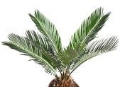 One Palm tree isolated on white background — Stock Photo