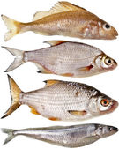 Collection set of different popular fresh river fish roach isolated on white background — Stock Photo