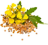 Mustard seeds heap and mustard flower isolated on white background — Stock Photo