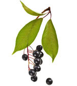 The branch of bird-cherry tree (Prunus padus) close up isolated on a white background — Stockfoto