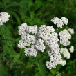 Milfoil plant herb (Achillea Millefolium) — Stock Photo