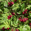 Decorative rowan- hawthorn tree with ripe blood-red color berries close up — Stock Photo
