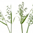 Green panicles of field oat set close up isolated on white background — Stock Photo