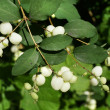 Snowberry White Bush Close up — Stock Photo