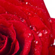One single red rose bud close up macro shot with water drops isolated on white background — Stock Photo #31700495