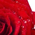 jeden jediný červené růže bud zblízka makro snímek kapkami vody izolovaných na bílém pozadí — Stock fotografie