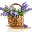 Basket with lavender flowers plant isolated on white background — Stock Photo