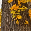 Autumn branch of maple against the trunk wooden texture with copy space — Stock Photo