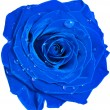 Beautiful blue rose head with water drops close up isolated on white background — Stock Photo