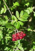 Decorative rowan- hawthorn tree with ripe blood-red berries close up macro — Stock Photo