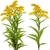 Solidago canadensis Goldenrod flower isolated on white background — Stock Photo