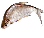 One Fresh bream fish isolated on a white background — Stock Photo