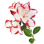 Bouquet azalea close up macro isolated on white background — Stock Photo