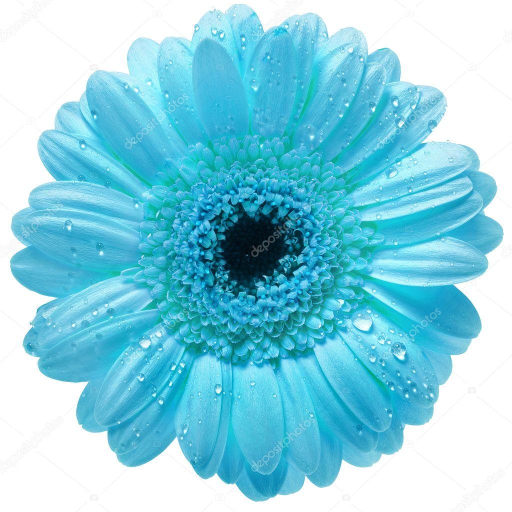 голубой цветок на белом фоне фото