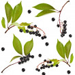 Collection set of bird cherry branch with berries — Stock Photo