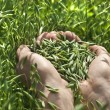 Stock Photo: Farmer hand full keep green oats