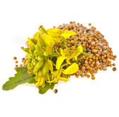 Mustard seeds heap and mustard flower — Stock Photo