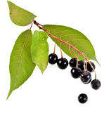La rama de pájaro-cerezo — Foto de Stock