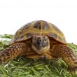 Turtle standing in heap green oat seeds close up — Stock Photo