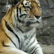 Tiger — Stock Photo #34310705