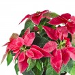 Christmas flower - Red poinsettia close up macro — Stock Photo