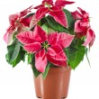 Christmas flower - Red poinsettia close up — Stock Photo