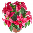 Stock Photo: Christmas flower - Red poinsettia close up