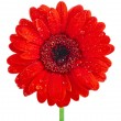 Single red gerbera head flower close up — Stock Photo