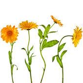 Orange flower of calendula marigold close up macro — Stock Photo