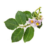 Beauty bouquet flowers potato with leaves — Stock Photo